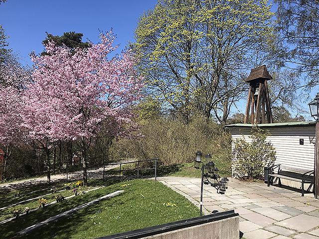 Full blom på Solna kyrkogård